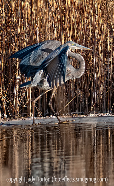 Great blue heron, photographed at the Dancing Cranes Guest House in San Antonio, New Mexico, not far from Bosque del Apache National Wildlife Refuge.  Best viewed in the largest size.  The owners of the B&B have created a wildlife refuge on their property that attracts many different kinds of birds.  I was lucky to catch him in this position, as he was moving about pretty rapidly.<br /> <br /> Thanks you all for your response to my reflections shot.  Still cold here with a bit of snow.  I envy those of you who are having spring!