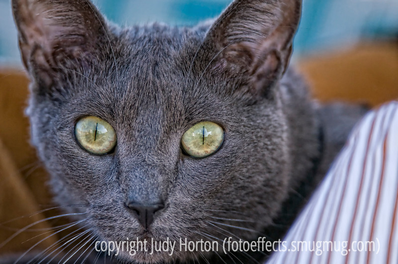 A Russian blue cat; best viewed in the larger sizes.  This beautiful cat belongs to one of our fellow campers at the RV park in Ft. McDowell.  She was lying in her basket outside...on a leash, of course.<br /> <br /> I was amazed at the response to the hummingbird feeding her babies.  I thought it was a pretty nice shot but had no idea it would generate such a response, which I think may be the most comments I've ever gotten in a single day on a daily.  Thanks so much to all of you.  It made me feel really good to know that so many enjoyed seeing the photo.  Some of you asked how I found the nest.  Actually, I thought there might be a hummingbird nest at the Desert Botanical Garden, since I saw one there a couple of years ago.  So, when I got there, I asked the person selling the tickets if they had any hummer nests around and she pointed this one out...in the tree just behind the booth.  It was difficult to photograph because there were many branches around the nest area which tended to block the shot of the birds and nest, but I finally managed to find a spot that wasn't too bad.  I used my 400mm lens with a tripod and took quite a lot of shots as the mother came and went several times.  The nest was about four or five feet higher than my head and sat right on top of a small branch.  The nest was about the size of a fifty cent piece.  We have lots of hummers at home but they seem to nest high up in the ponderosas and I've never been able to spot a nest there.  I did feel very privileged and excited to be able to shoot the mother and babies.<br /> <br /> Tomorrow we leave the Phoenix area and go to Globe where there is another wonderful botanical garden.  I probably won't have internet access from tomorrow until we get home on Thursday, so I hope you all have a great week.