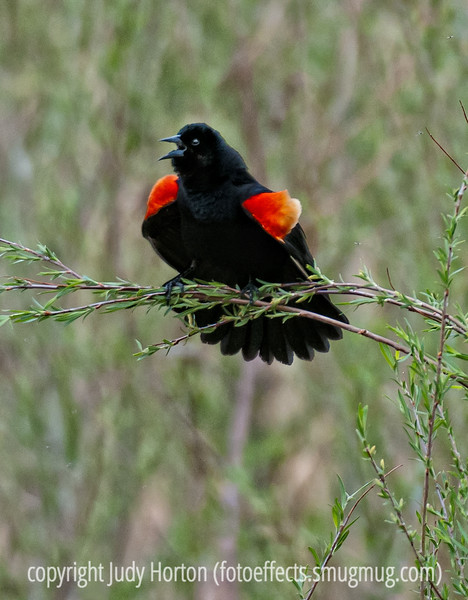 A male red-winged blackbird; he is displaying and when he does this, he raises up the feathers on those epaulets.  Most interesting; best viewed in the largest size.<br /> <br /> I appreciated all the comments on my mosquito shot.  Thanks so much.