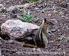 Golden mantled ground squirrel; best viewed in the largest size; captured at Teal Campground, which is about 24 miles outside Pagosa Springs, Colorado.<br /> <br /> Gee, whiz, folks!  I'm so honored that your comments and thumbs up made my shot of the deer #1 for the day, especially when there were so many wonderful shots on smugmug.  You all are too kind!  Enjoy your day!