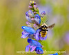 A bumblebee buzzes around a penstemon at Teal Campground in southern Colorado; best viewed in the largest size.  I was pleased with the capture of the bee and I liked the bokeh, as well.  Hope you like it!<br /> <br /> Thanks once again for your kind response and comments on my shot of the little squirrel.  Much appreciated.  The weekend is already upon us.  Where do the days go?