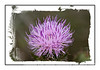 A purple thistle in bloom in the Florida Everglades; look at this in the larger sizes for the detail.