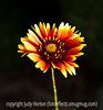 Gaillardia - I've taken lots of pictures of gaillardia which are probably better than this one, but there is something about the color range in this one which appeals to me.<br /> <br /> Thank you for your comments on my shot of the little girl with the ice cream cone.  Much appreciated.
