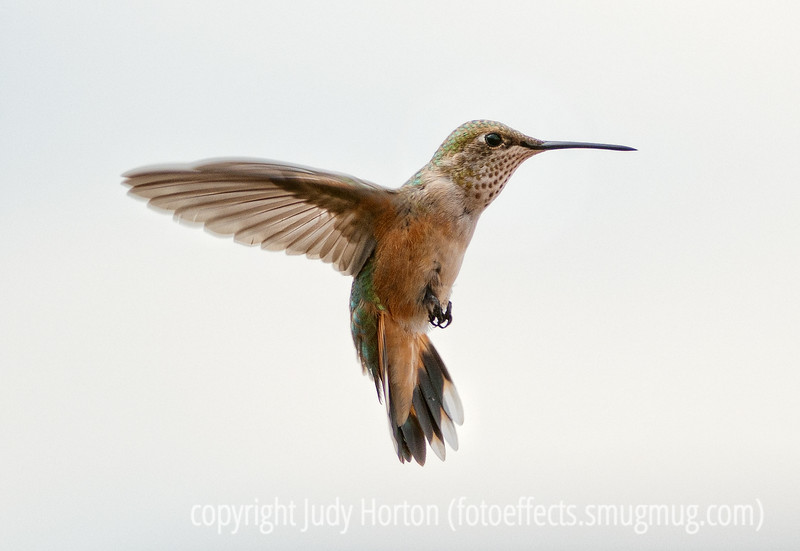 8/14/12 - Rufous Hummingbird, best viewed in the largest size.  I spent some time yesterday shooting hummers.<br /> <br /> Does anyone know how Phil Nix is?  I've tried to find out but haven't learned anything.  I know he was ill and I'm worried, as he has not posted in a long time.<br /> <br /> Thanks so much for your encouragement and critique of my shot of the old bikes.  Much appreciated.  Constructive criticism is always welcome.<br /> <br /> Have a good day, my friends!