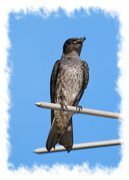 A female purple martin with an insect in its mouth, photographed in the Florida Everglades; look at it in the largest sizes to see the detail.  I'm off camping, so I posted this before I left.  I'll be back on Sunday.  I also posted a tricolored heron shot early, since I won't be able to post for a couple of days.  I'm hoping some of you get to see them.