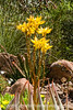 A yellow aloe in bloom; best viewed in the largest sizes.  Photographed at the Desert Botanical Garden near Scottsdale, Arizona.  Aloes bloom in so many spectacular colors and a variety of shapes and sizes.  I wish we could grow them outside in Colorado.<br /> <br /> Thanks for the comments on the shot of the man with the sunglasses.  I know how much time it takes to comment and I do appreciate it.  It really makes my day to read the comments you all have made.
