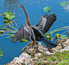 An anhinga drying its wings in the Everglades; best viewed in the largest size.  I think what I like most about this shot is the way the vivid blue water balances the bird and bank area of the image.<br /> <br /> I sure appreciated the comments on my shot of the wine glass and the sunset.  I had a great day with my daughter and granddaughter, but did not get home in time to do too much commenting.