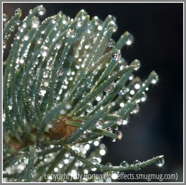 Water drops on Fir Tree Needles