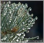 Water drops on Fir Tree Needles