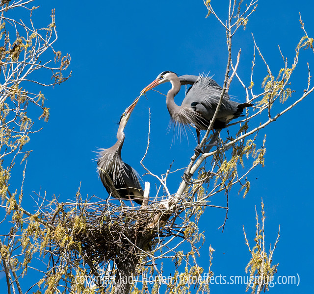 The male great blue heron give his mate the branch he has brought for their nest; best viewed in the largest sizes.  The female will then work the branch into the nest.  Once in a while I saw a male working branches into the nest or rearranging the ones that were already there.  Usually, though, that seemed to be the woman's job, while his was to fly off and bring home the bacon (or, branch).  This shot was taken in the spring, but I just finished processing the shots from that card, so I wanted to share this one.<br /> <br /> The white sculpture shot did not seem to be particularly well received, but I do thank those of you who took the time to comment on it.  I have to admit that it is far from being one of my favorite shots.  Have a good day!