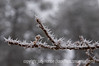 Hoarfrost on a branch; best viewed in the largest sizes.  We had freezing fog all day today and it created the most incredible hoarfrost on everything.<br /> <br /> Wow!  I was totally amazed when I saw my lunar eclipse composite was the number one shot tonight.  I had seen a lot of great shots of the eclipse before I posted it, including Phil Nix's excellent shot and an outstanding one of the eclipse over Newark, NJ's skyline.  At any rate, I'm very grateful for your support and encouragement....a very nice Christmas present for me.