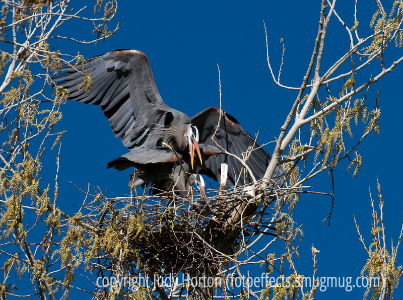 "This pair of great blue herons is mating, which began with the male jumping onto the female's back.  As he adjusts his position, he flaps his wings (I think, to help maintain his balance).  In this shot he is reaching to grab the female's neck in his beak.  He will continue to flap his wings all during the process.  The female has her wings slightly raised.  This shot is best viewed in the largest sizes.<br /> <br /> Thanks for the comments on the macro of the spider and the ant.  For the last couple of days, I've experienced the same problem some of the others of you have referred to: difficulty getting my posting to show up in the dailies.  Going into the gallery settings and changing the community sharing to ""none"" and then back to ""daily community"" seems to have fixed it (I hope)."