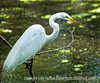 A great white egret in breeding plumage at Corkscrew Sanctuary in Florida; best viewed in the largest size.  Another of the reprocessed Everglades shots.<br /> <br /> I've been so rushed today.  Did not get to comment on everyone's photos.  Hopefully, I'll be able to catch up tomorrow.  Have a good day!