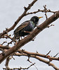 A starling, best viewed in the original size, as it has been severely cropped.   After taking the photos at the Rodeo Hall of Fame, we stopped at McDonald's for lunch.  This little fella was chirping away in the tree near our car.  Although I did not have the best lens on the camera for the job, I snapped a shot anyway and was surprised with the detail I got in such a severely cropped image.<br /> <br /> Thanks to all of you for your wonderful response to my shot of the cowboy on the bucking bronco.  I liked the shot, but didn't anticipate so many of you would like it, too.  I have to get up early tomorrow to go to some sort of martial dance exercise class.  My hubby and I take pilates several times a week, but I've never done anything like this.  I'm afraid it may wear me out.  It is snowing again a bit this evening.  We've had over 22 inches of snow so far this winter, but only a few inches at a time, so we never have a lot on the ground.  We have not even shoveled our driveway this year...knock on wood.  Hope you have a chance to do something enjoyable and relaxing this weekend!<br /> Incidentally, the Apple store did give me a new mouse.  I did not have to be pushy or anything.  As soon as they realized it did not work, they said they would replace it.