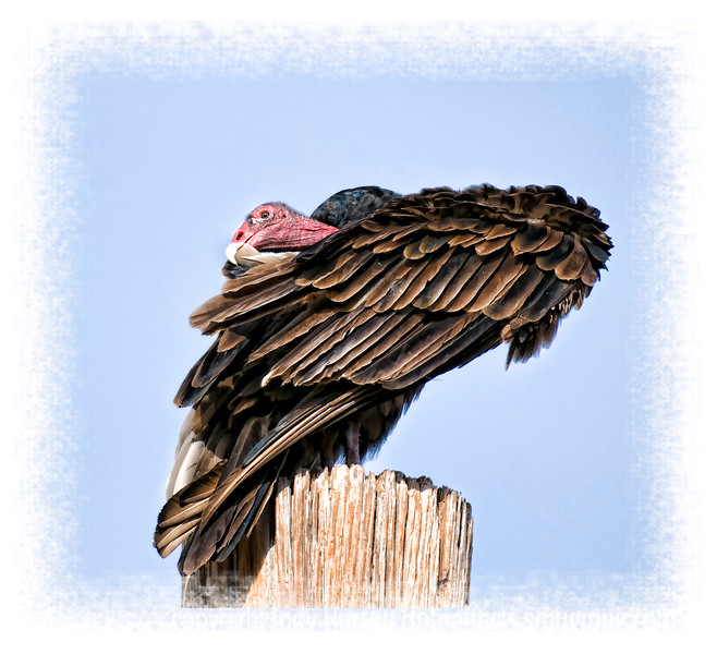 I think this photo of a turkey vulture cleaning her/his feathers looks like the bird is wrapped in a feather shawl.  I watched this vulture for over an hour cleaning every single feather on her body.  She ran every feather through her mouth.  If you look at this image in the largest sizes, you will see that there were, nonetheless, problems with quite a few of the feathers.  I was kneeling on the ground with my big 200 - 400mm lens.  I wanted the bird to fly off so that I could capture her in flight.  After an hour and a half, my arms and legs were shaking; my knees were in agony from kneeling on the rocks and I was afraid I would have to give up.  Both vultures I was watching finally flew off, but they really took their time with their grooming, wing warming, etc.  Be sure to look at this in the larger sizes.  You can really see the feather detail well.  Have a great day everyone!