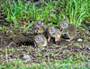 Wow!  So this is the world! - Baby ground squirrels emerge from the underground nest to discover the world.  These little guys were near the old barn out on Mormon Row in the Grand Tetons National Park.  There were actually about six of them and they scurried around exploring but never far from the burrow.  Best viewed in the largest sizes<br /> <br /> I am overwhelmed that you all made my shot of the Grand Prismatic Pool your #1 shot for the day.  What an honor, especially considering all the great shots I saw on smugmug today.  Thanks so much!<br /> <br /> Hope your week is going well.  It is already hump day!
