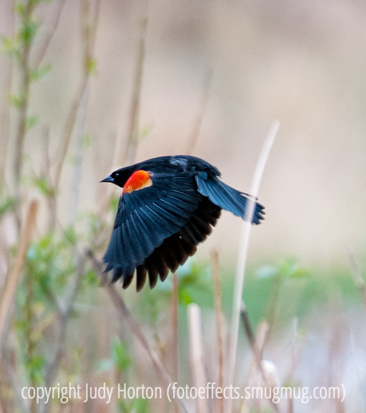 A red-winged blackbird; best viewed in the larger sizes.  I've tried to capture red-winged blackbirds before and have always had difficulty.  My grandson and I spent about three hours photographing them at a little retention pond near his house.  We were able to get closer than I've ever managed before and, as a result, I did get some shots that aren't too bad.  I was pleased with this one that I was able to get the red wing markings in flight.<br /> <br /> I sure appreciated all the comments on my robin shot.  I was quite close; hence, the sharp details.<br /> <br /> We have been getting our house ready to put on the market and it has been exhausting!  Hope your weekend is more fun!
