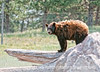 7/16/12 - Black bear; best viewed in the largest sizes.  This was also shot at Bear Country in the Black Hills of South Dakota.  The park is very aptly named, as they have many, many bears there.  You are often have a view of as many as thirty or more bears at one time, all of which appear to be very healthy.  It was quite hot the day we were there and the bears were all obviously suffering from the heat.  Many were seeking water.  The folks who managed the park were going around spraying them with water.  I liked the light on this fellow.<br /> <br /> Thanks to so many of you for your comments on my shot of the bighorn sheep and her baby.  I admit that capturing that image was certainly a thrill for me!<br /> <br /> Have a good day!
