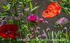 Anemones and Poppy