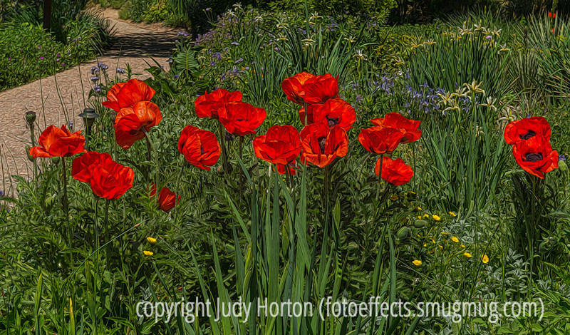Oriental Poppies - check it out in the largest size