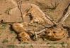 4/16/16 - Lions at rest