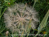 Salsify Seedhead, a dandelion like wildflower, but with a much larger seedhead....about 4 inches in diameter