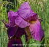 Bearded German  Iris, Wet and Weighted Down with Dew