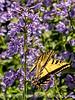 Giant Swallowtail on Nepeta