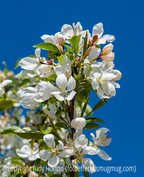 Bradford Pear Blossoms - they are just started to open in Colorado Springs