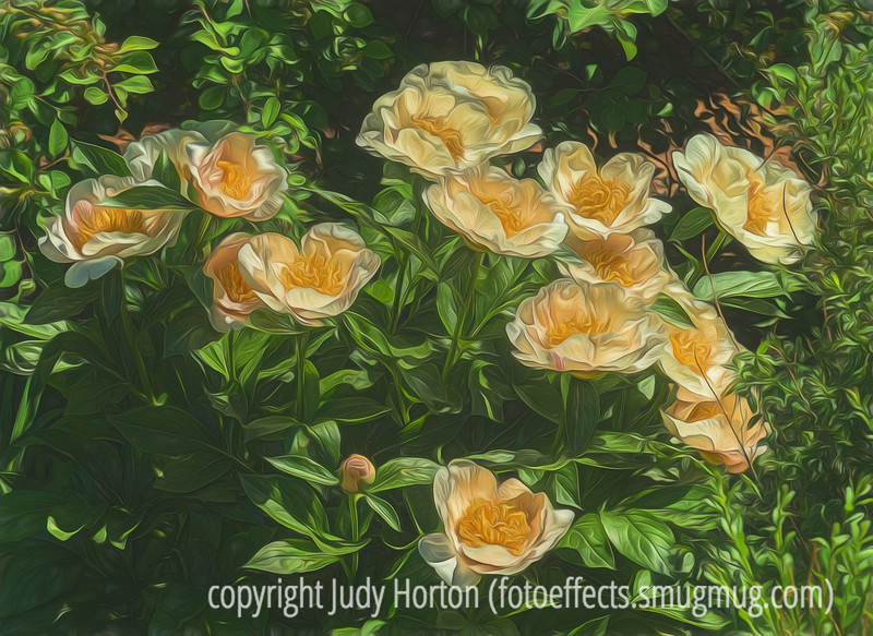 """Peonies - don't forget Sunday's """"A"""" Alphabet Challenge"""