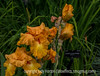 German Iris with Water Drops