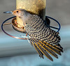 Northern Red-Shafted Flicker Female
