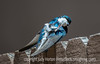 Tree Swallow Scratching