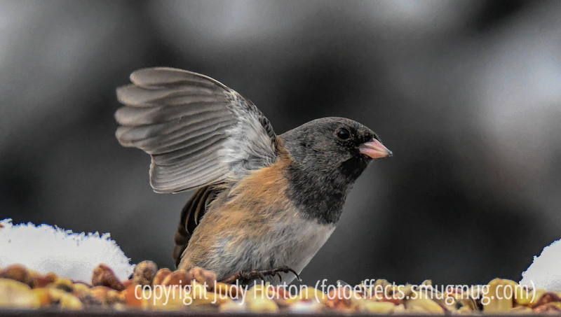 Pink-sided black-headed junco - I posted two shots today; the other one is a dove flying in an unusual pov.