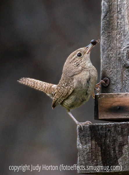 Wren with a Spider for Its Babies