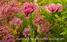 Oriental Poppies and Allium with Painterly Effects