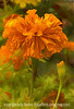 Marigold with Painterly Effects, best viewed in the largest size
