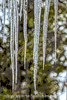 Icicles - It is still very cold here...I'm afraid my  tulips may have bitten the dust.