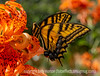 Giant Swallowtaill Butterfly on a Tiger Lily