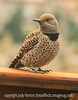 11/28/15 - Female Yellow-Shafted Flicker