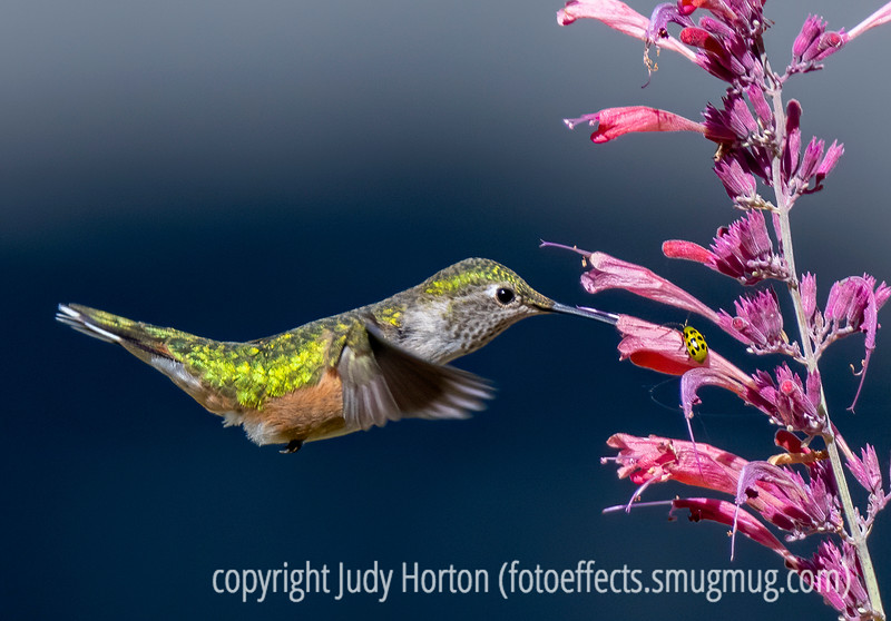 Hummingbird at My Agastache, while a cucumber beetle watches