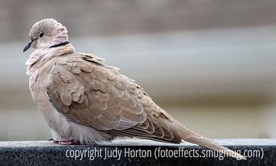 Dove - Eurasian Collared Dove (thanks for the I.D.)