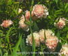 Peonies - a more painterly version