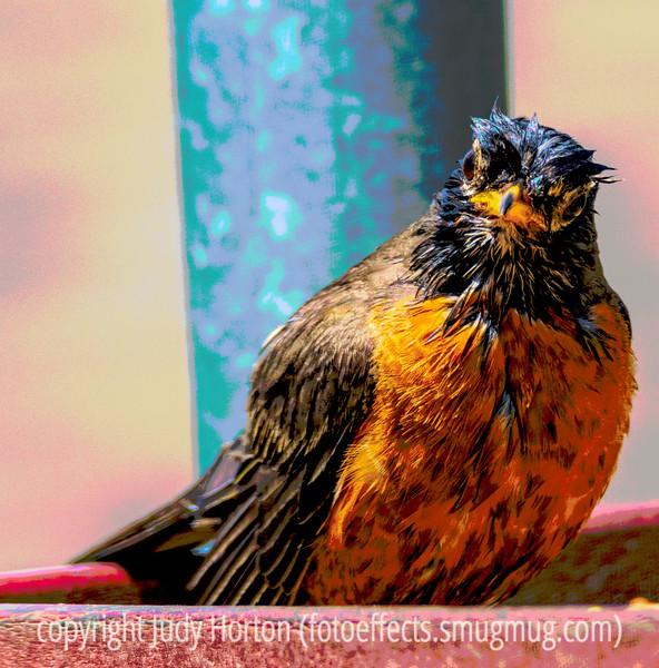 Wet Robin - Just Had a Bath