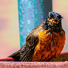 Wet Robin - Just Had a Bath