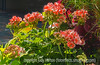 """Geraniums - don't forget the letter """"H"""" alphabet challenge on Sunday, and it is open to all!"""