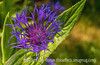Centaurea Montana with Painterly Effects