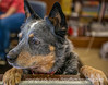 6/25/15 - Dog at the antiques store...got up on the counter to greet me.<br /> <br /> Thanks for your comments on my latest posting of a magpie.