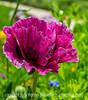 Oriental Poppy in an Unusual Color
