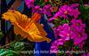 Hibiscus and Petunias